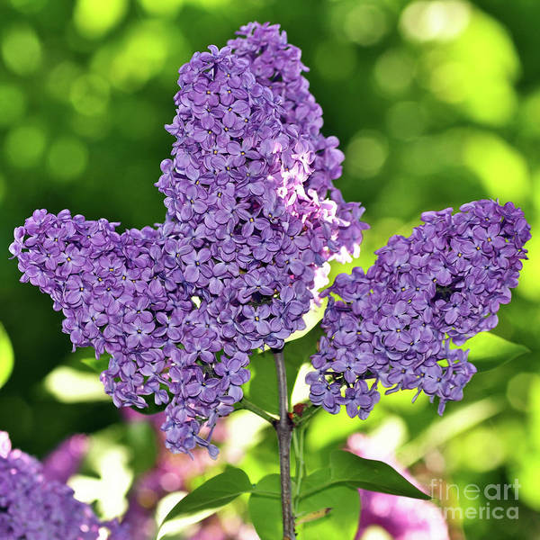 Photograph - Happy Easter - Purple Lilac Bush by Silva Wischeropp
