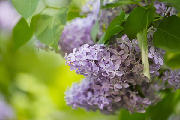 Shrubs Photograph - Purple Lilac by Nailia Schwarz
