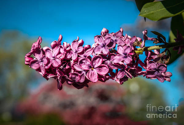 Bisexual Photograph - Purple Lilac by Robert Bales