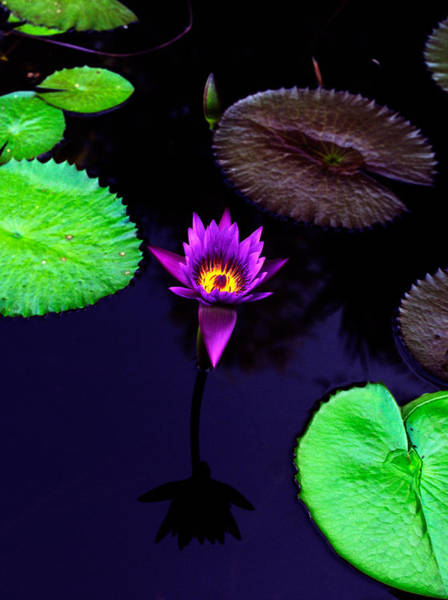 Wall Art - Photograph - Purple Lily by Gary Dean Mercer Clark