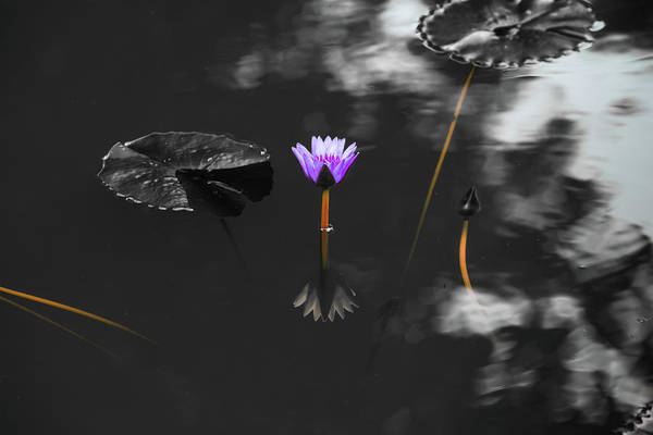 Photograph - Purple Lily In Black And White by Dennis Dame