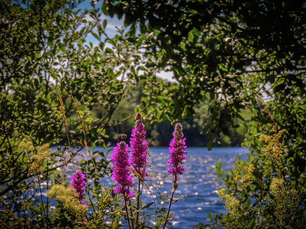 Photograph - Purple Loosestrife In The Irish Countryside by James Truett