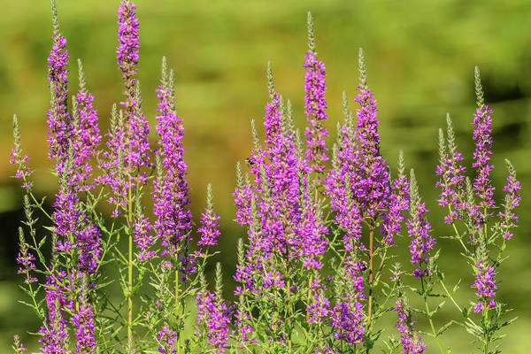 Lythrum Photograph - Purple Loosestrife by Morris Finkelstein