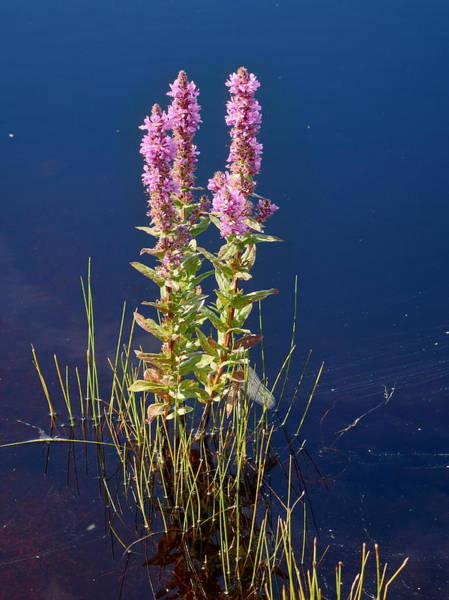 Lythrum Photograph - Purple Loosestrife With A Secret by Jouko Lehto