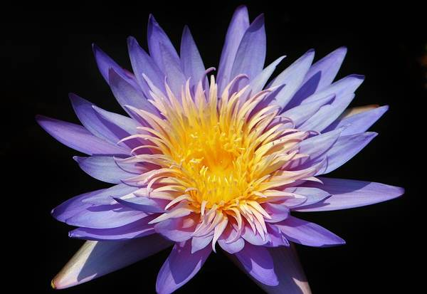 Photograph - Purple Lotus by Cynthia Guinn