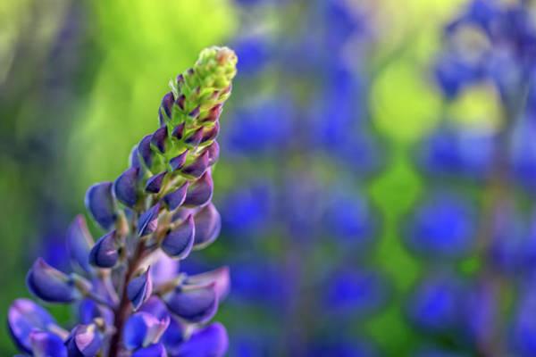 Photograph - Purple Lupine by Kristen Wilkinson