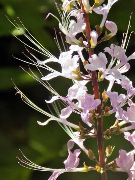 Hurricane Lily Photograph - Purple Lycoris by Sarah Barba