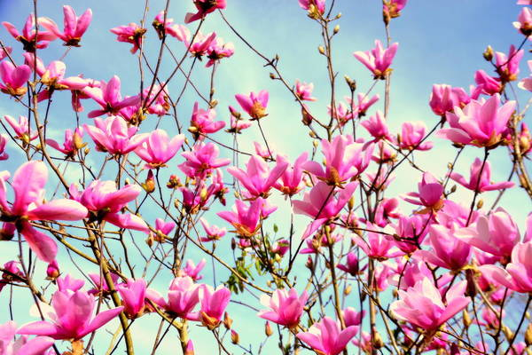 Wall Art - Photograph - Purple Magnolia Tree by Lisa Wooten