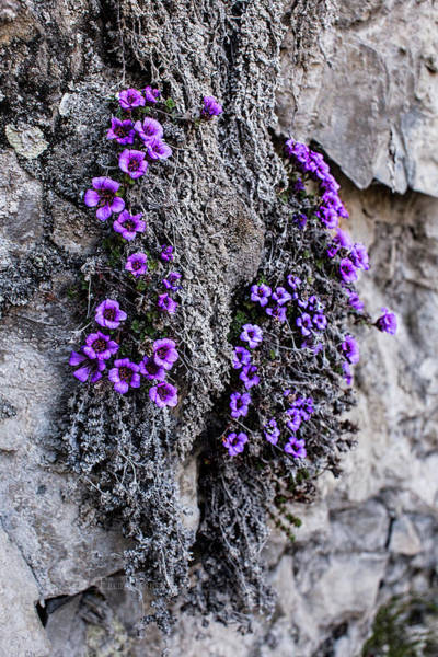 Photograph - Purple Mountain Saxifrage by Fred Denner
