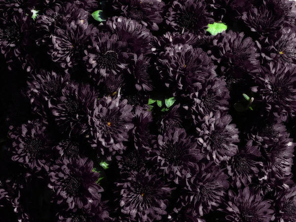 Photograph - Purple Mums by Scott Hovind