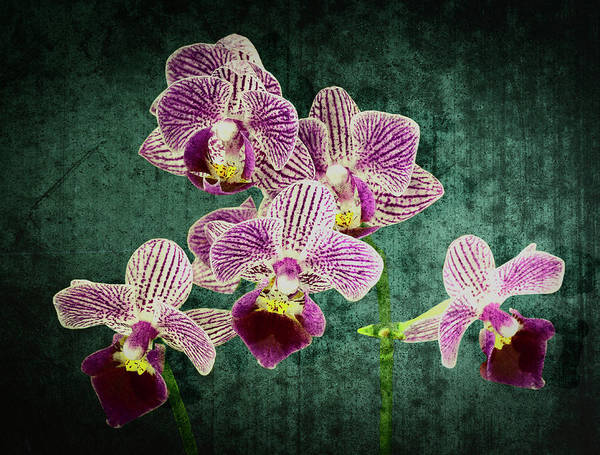 Photograph - Purple Orchid 4869 On Green by Rudy Umans
