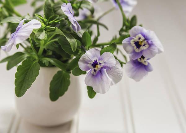 Wall Art - Photograph - Purple Pansy Flowers by Kim Hojnacki