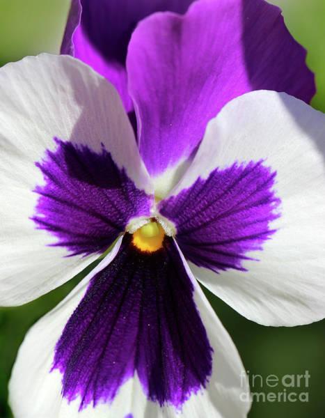 Photograph - Purple Pansy by Karen Adams