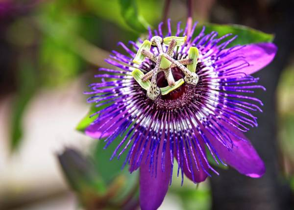 Photograph - Purple Passion Flower by Carolyn Marshall