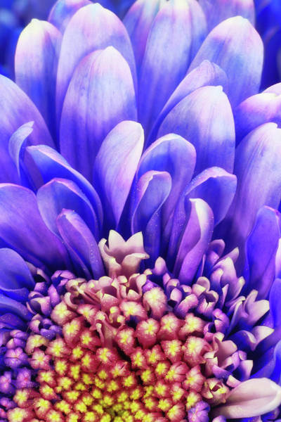 Photograph - Purple Petals by Christopher Johnson