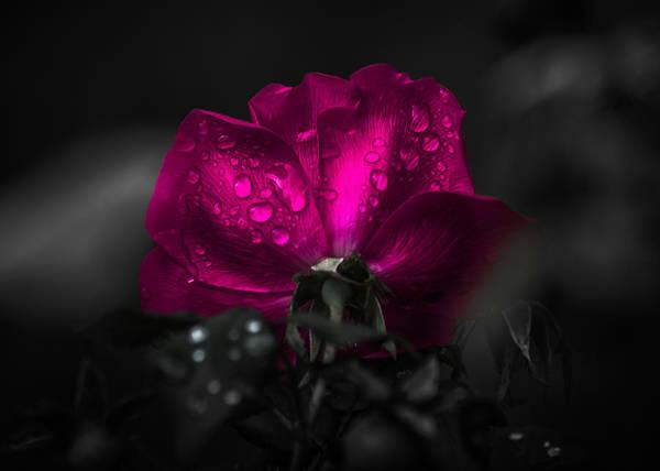 Photograph - Purple Petals by Parker Cunningham