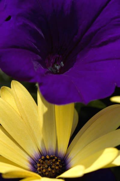 Osteospermum Hybrid Photograph - Purple Petunia And Yellow Osteospermum by Todd Gipstein