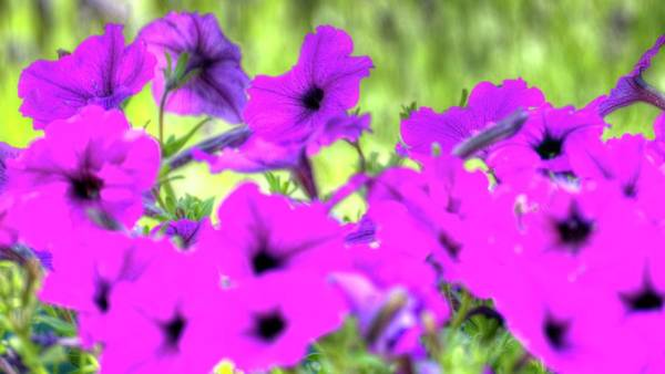 Photograph - Purple Petunias by Jerry Sodorff