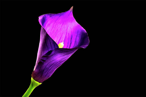 Photograph - Purple Pitcher by Mike Stephens