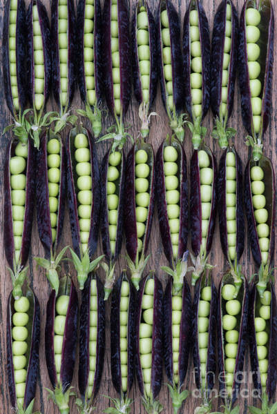 Photograph - Purple Podded Peas by Tim Gainey