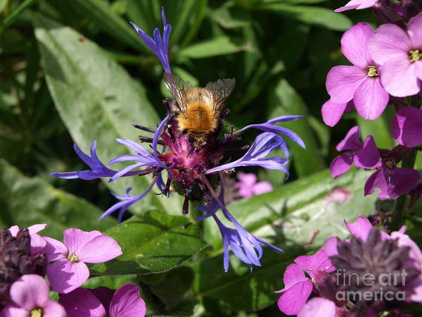 Centaurea Montana Wall Art - Photograph - Purple Pollination by Richard Brookes