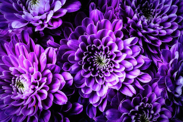 Mums Photograph - Purple Pompon  by Garry Gay