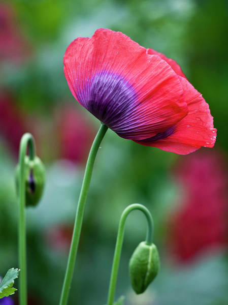 Photograph - Purple Poppy Flower by Heiko Koehrer-Wagner