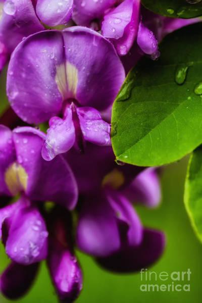 Photograph - Purple Robe Locust by Thomas R Fletcher