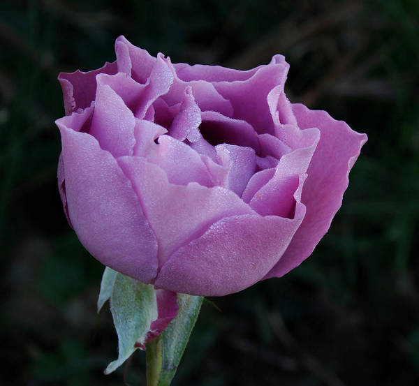 Photograph - Purple Rose II by Sandy Keeton