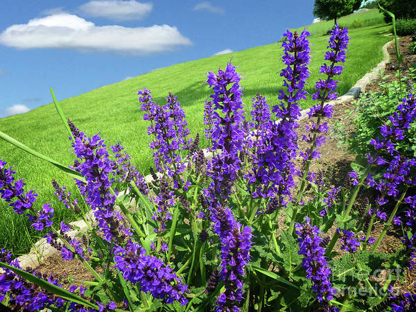 Photograph - Purple Salvia Deekflo by Dee Flouton