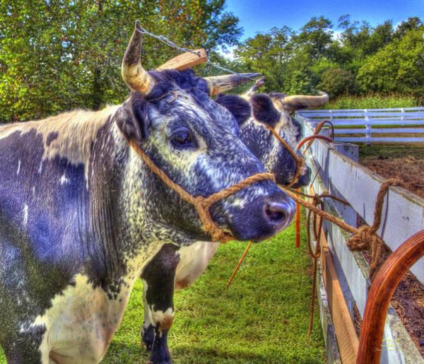 Photograph - Purple Shaker Cows by Sam Davis Johnson