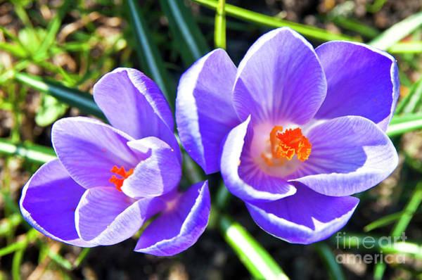 Photograph - Purple Sound Of Easter by Silva Wischeropp
