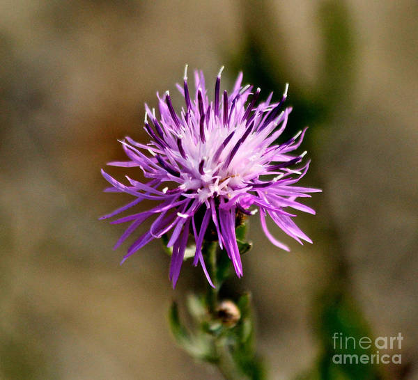 Photograph - Purple Spotted Knapweed by Ann E Robson