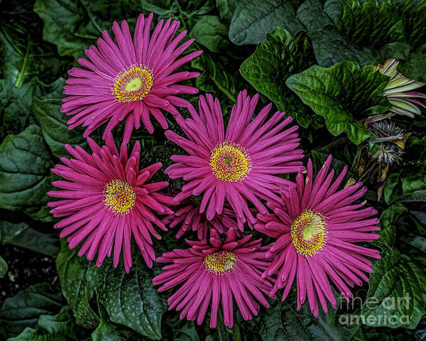 Wall Art - Photograph - Pink Spring Beauty by Nick Zelinsky