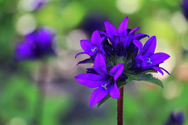Photograph - Purple Spring Flower by Cristina Stefan