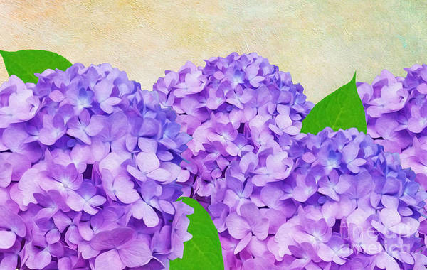 Hydrangea Photograph - Purple Spring Hydrangeas by Laura D Young