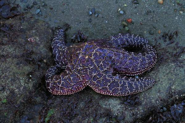 National Aquarium Photograph - Purple Starfish In Olympic National Park by Dan Sproul