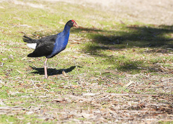 Photograph - Purple Swamphen - Australia by Steven Ralser
