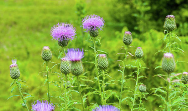 Photograph - Purple Thistle And Bee by Edward Peterson