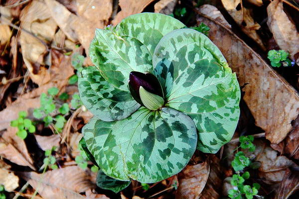 Photograph - Purple Toadshade Trillium by Allen Nice-Webb