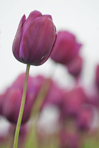Photograph - Purple Tulip 2 by Jani Freimann