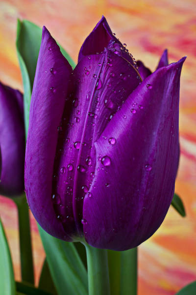 Purple Tulip Photograph - Purple Tulip by Garry Gay