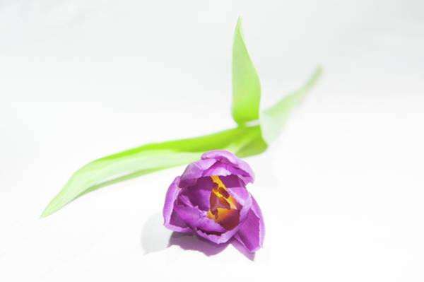 Photograph - Purple Tulip by Helen Northcott