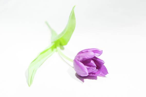 Photograph - Purple Tulip II by Helen Northcott