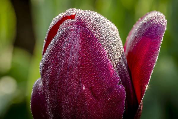 Photograph - Purple Tulip Jewel by Teri Virbickis