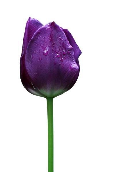 Photograph - Purple Tulip T by Ivan Slosar
