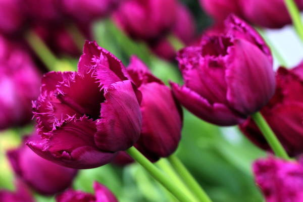 Photograph - Purple Tulips by Angela Rath