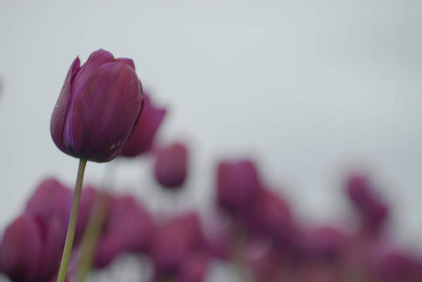 Photograph - Purple Tulips by Jani Freimann