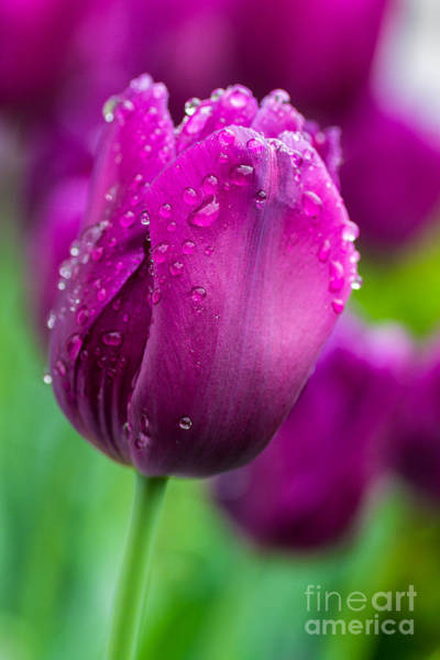 Wall Art - Photograph - Purple Tulips by Matthew Trudeau