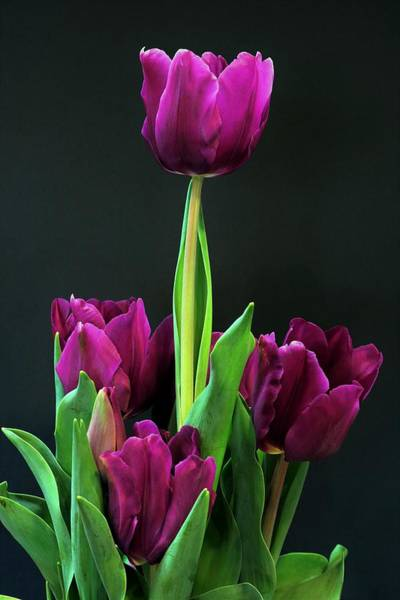 Photograph - Purple Tulips On Black by Sheila Brown